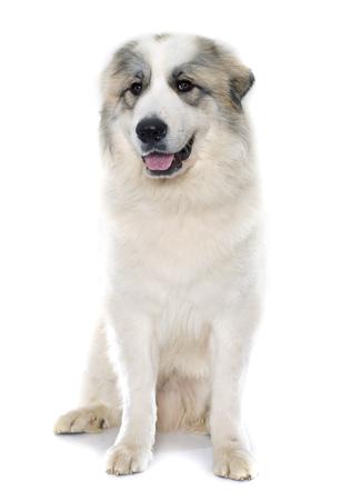 Perro pirenáico de la montaña delante de fondo blanco Foto de archivo