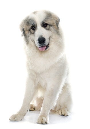 white dog: Pyrenean Mountain Dog in front of white background