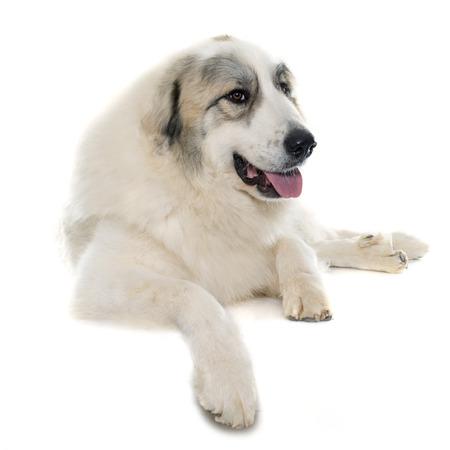 Perro pirenáico de la montaña delante de fondo blanco Foto de archivo - 50946050