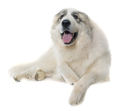 pyrenean mountain dog: Pyrenean Mountain Dog in front of white background