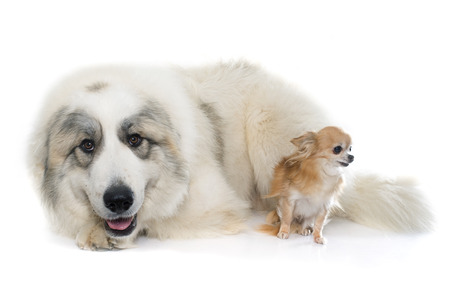 great pyrenees: Pyrenean Mountain Dog and chihuahua in front of white background