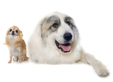 pyrenean mountain dog: Pyrenean Mountain Dog and chihuahua in front of white background
