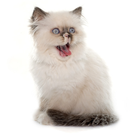 meowing: british longhair kitten in front of white background