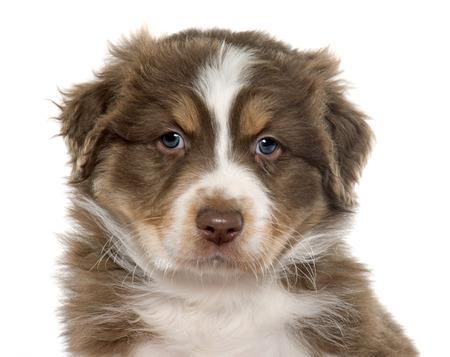 sheepdogs: puppy australian shepherd in front of white background