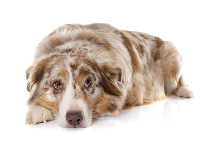 laying down: adult australian shepherd in front of white background