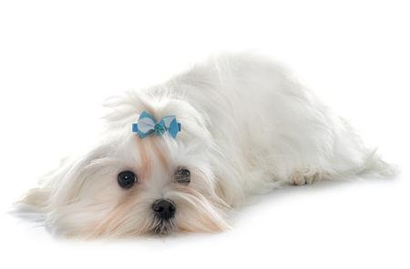 perrito: Maltés perro delante de fondo blanco