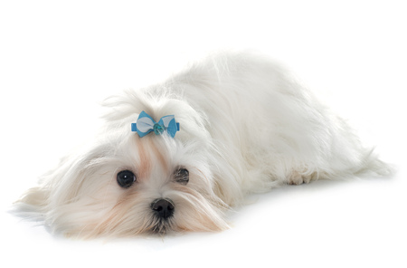 maltese dog: maltese dog in front of white background