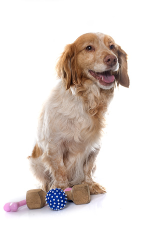 dog toy: Brittany Spaniel in front of white background Stock Photo
