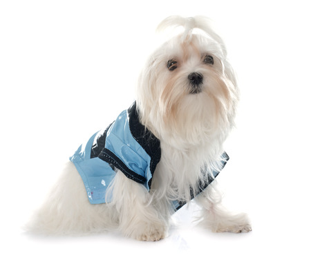 maltese dog: dressed maltese dog in front of white background Stock Photo