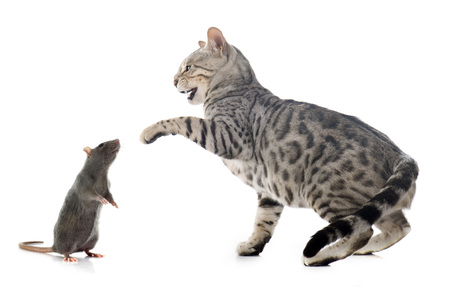 cat isolated: bengal cat hunting rat in front of white background