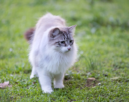ragdoll: young birman cat with blue eyes in nature