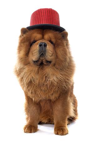 perros vestidos: chow perro marrón delante de fondo blanco Foto de archivo