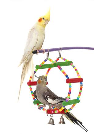 periquito: jugando periquito y Cockatiel