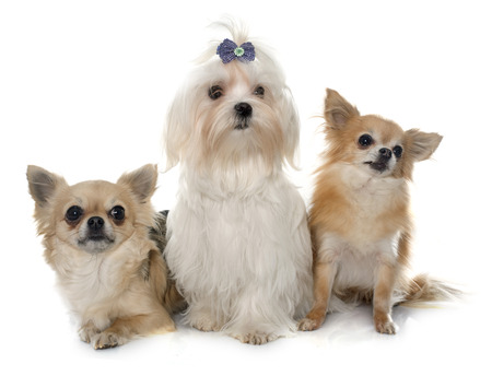 maltese dog: chihuahuas and maltese dog in front of white background