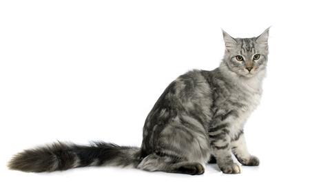white cat: maine coon cat in front of white background Stock Photo