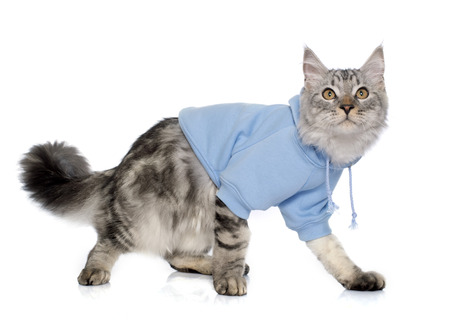 maine cat: dressed maine coon cat in front of white background