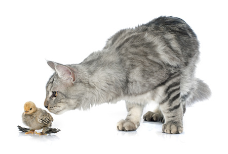 white cat: maine coon cat and chick in front of white background