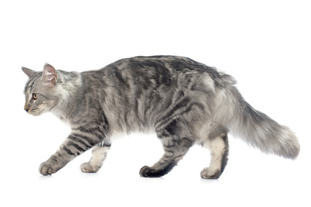 maine coon: maine coon cat in front of white background Stock Photo