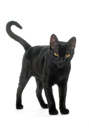 oriental white cat: young black cat in front of white background Stock Photo