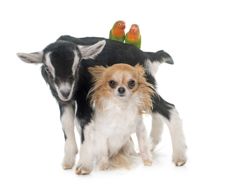 black and white farm animals: chihuahua, kid and Cockatiel in front of white background