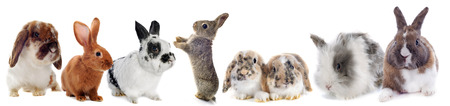 lop lop rabbit white: group of Rabbits  in front of white background