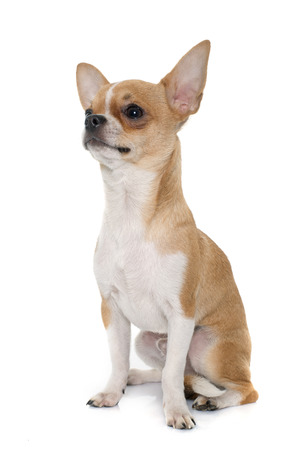 male animal: young male chihuahua in front of white background
