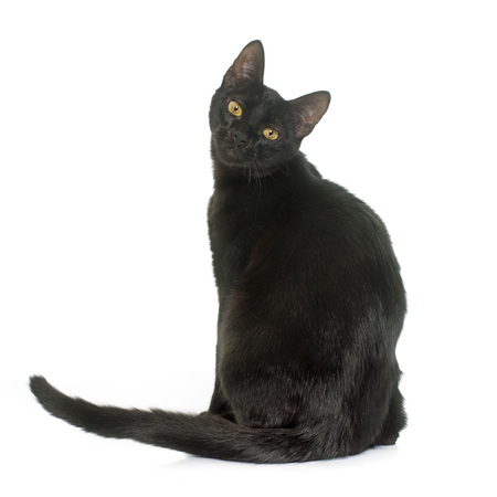 oriental white cat: black young cat in front of white background