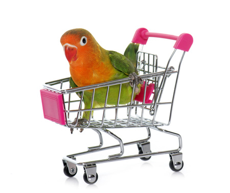 lovebird: young fisheri lovebird in trolley in front of white background