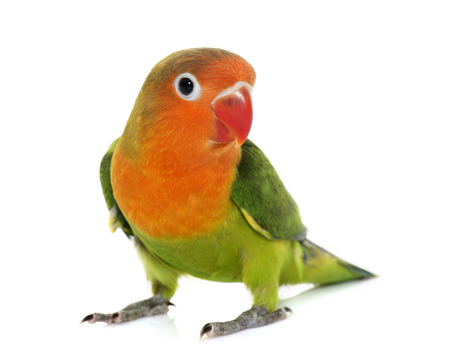 budgie: young fisheri lovebird in front of white background Stock Photo