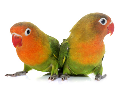 lovebirds: young fisheri lovebirds in front of white background