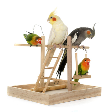 lovebirds: lovebirds and cockatiel playing in front of white background