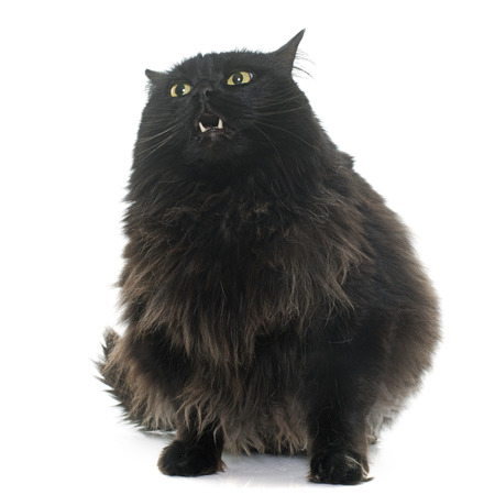 white cat: large black cat in front of white background