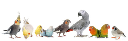 lovebirds: common pet parakeet, African Grey Parrot, lovebirds, Zebra finch and Cockatielin front of white background
