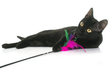 white cats: black young cat playing in front of white background