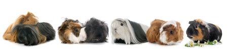 black hairs: guineal pigs in front of white background Stock Photo