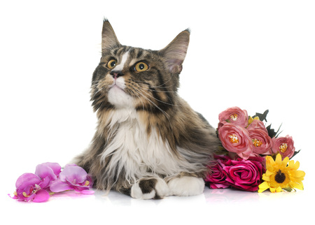 coon: maine coon cat and flowers in front of white background Stock Photo