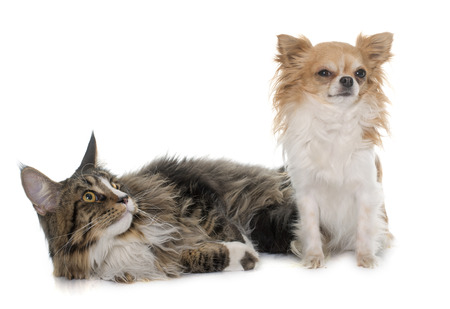 maine coon: maine coon cat and chihuahua in front of white background Stock Photo