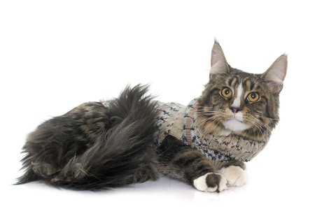 maine cat: maine coon cat in front of white background Stock Photo