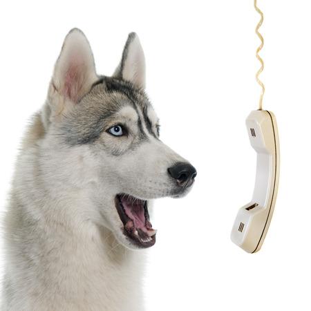 회색 흰색 배경 앞에 시베리안 허스키 전화 스톡 콘텐츠