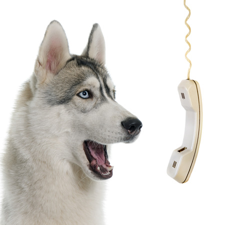 gray siberian husky calling in front of white background