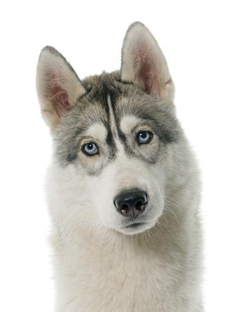 siberian husky: gray siberian husky in front of white background