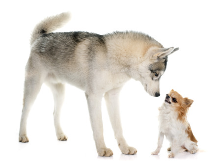 blue eye husky: gray siberian husky and chihuahuain front of white background