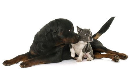 rottweiler: french bulldog and rottweiler in front of white background Stock Photo