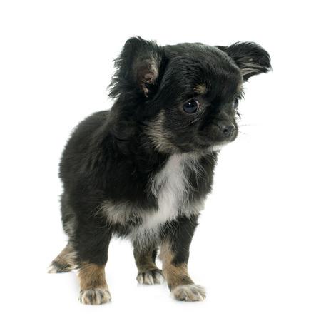 capelli lunghi: giovane poco chihuahua di fronte a sfondo bianco