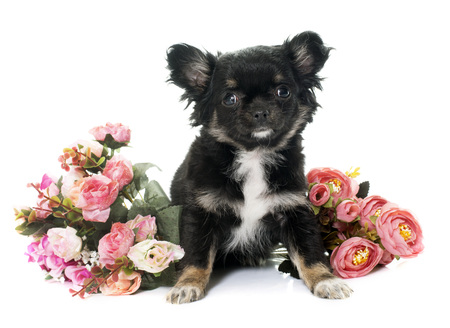 long hair chihuahua: puppy chihuahua and flowers in front of white background