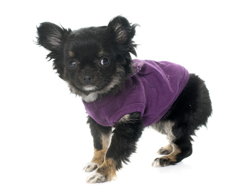 long hair chihuahua: dressed puppy chihuahua in front of white background