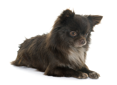 animal hair: young little chihuahua in front of white background