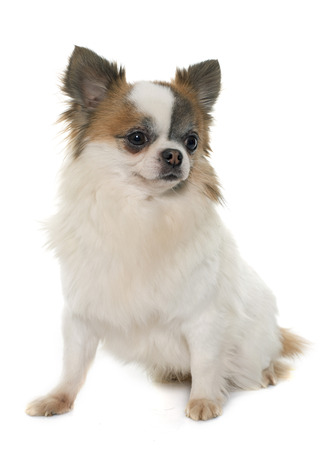 long hair chihuahua: young little chihuahua in front of white background