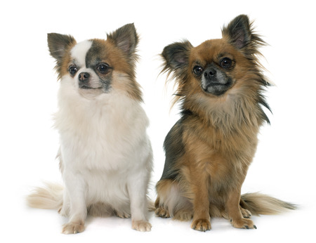 long hair chihuahua: two little chihuahua in front of white background