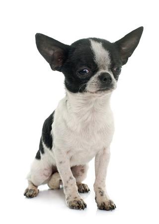 short hair dog: young little chihuahua in front of white background
